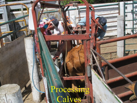 a7._Processing_calves